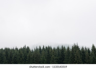 Nostalgic coniferous forest with firs and larches tree tops against misty sky. Copy Space for text. Styria mountains, Austria