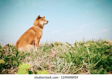 Nostalgic scene where there Japanese dog 'Shiba'