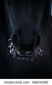 Nostrils of friesian horse in to snow closeup