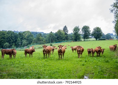 Nosy cows in field