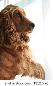 Nosy Neighbor, Cocker Spaniel parts the Window Blinds with Paw