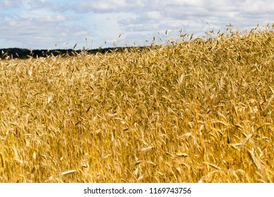 not a bright field with rye in cloudy weather in summer