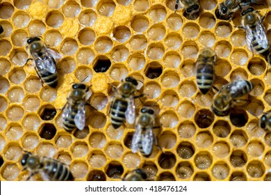 Not capped brood cells of the honey bee (Apis mellifera)
