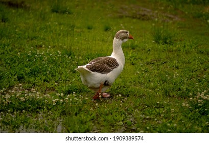 Not far from the dacha, on the lawn, I saw a goose, handsome, powerful, fat, he was walking slowly on the grass. - Shutterstock ID 1909389574