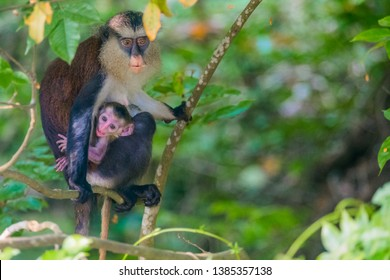 A not so impressed Mona monkey, expresses displeasure and mischief with its tongues out