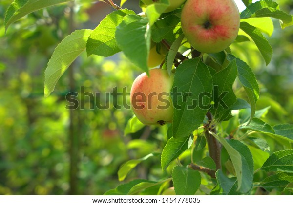Not quite ripe apples are hanging on the branch