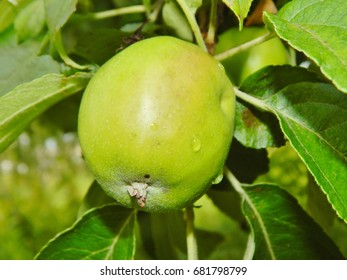 Not ripe green apples on the tree