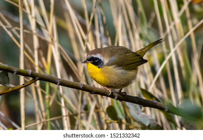 Nothing common about the common yellowthroat, seen in southern Oregon