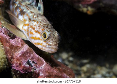 The Nothothenid (Patagonotothem sp.) is a common fish from the Patagonian fjords of Chile. It lives over rocky substrate between 0 to 30 meters. This picture was taken at 12 meters.