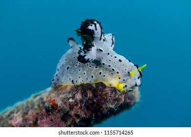 Notodoris serenae is a species of sea slug. It is a dorid nudibranch, a shell-less marine gastropod mollusc in the family Aegiridae