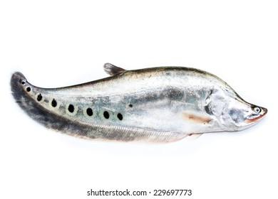 Notopterus chitala fish
