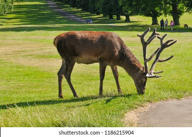 Nottingham, England - July 8, 2017: View of deer grazing in the reservation of Wollaton park, major tourist landmark in Nottingham, East Midlands, UK