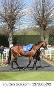 NOTTINGHAM RACECOURSE, COLWICK PARK, NOTTINGHAM, UK : 10 APRIL 2019 : Racehorse being led between the Pre Parade Ring and Parade Ring at Nottingham Racecourse with background of red tulips