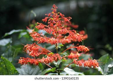 Noun Sawan or Phanom Sawan (Pagoda flower) Clerodendrum paniculatum L.