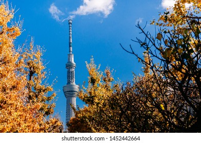 NOV 29, 2018 Tokyo, Japan - Tokyo Skytree Tower rise high against clear blue sky with autumn Gingo tree foreground shot from Asakusa area, Japan beautiful autumn season