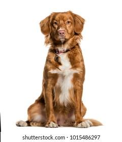 新斯科舍省鸭收费猎犬坐在对白色背景