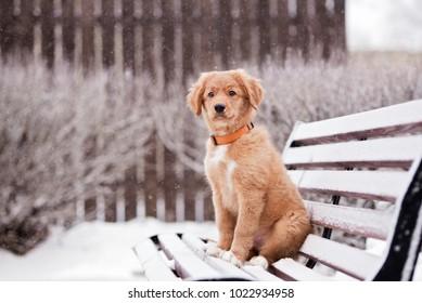 nova scotia duck tolling retriever puppy posing outdoors in winter