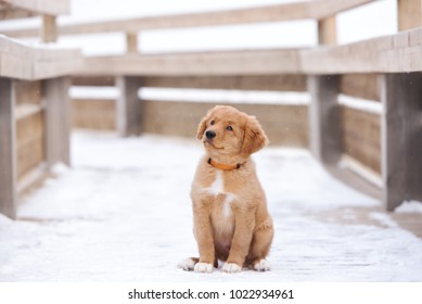 nova scotia duck tolling retriever puppy posing outdoors in winter