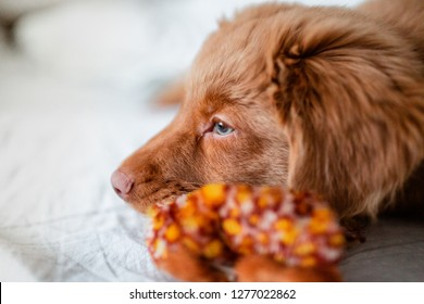 Nova Scotia Duck Tolling Retriever Fluffy Puppy