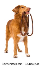 Nova scotia duck tolling retriever dog standing isolated on white background and holding a leash