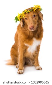 Nova scotia duck tolling retriever dog with a flower wreath isolated on white background