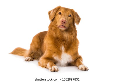 Nova scotia duck tolling retriever dog lying isolated on white background and looking up