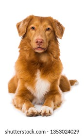 Nova scotia duck tolling retriever dog lying isolated on white background and looking to the camera