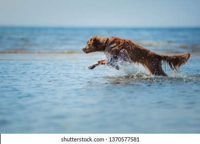 Nova Scotia Duck Tolling Retriever Dog in the water. Pet jumps into the sea. Animal in nature