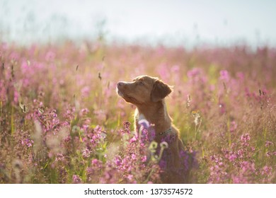 Nova Scotia Duck Tolling Retriever Dog in a field of flowers. Happy pet in the sun, portrait