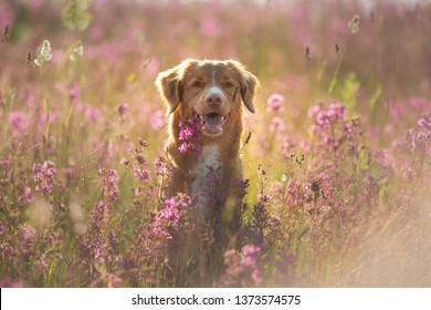 Nova Scotia Duck Tolling Retriever Dog in a field of flowers. Happy pet in the sun, portrait