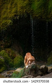 Nova Scotia Duck Tolling Retriever, Toller standing on a stone at the waterfall. dog near the water in nature. Pet Traveling