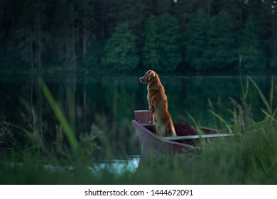 Nova Scotia Duck Tolling Retriever Dog in nature sitting on wooden bridge and looking at the lake. Pet outdoor
