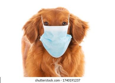 Perro recuperador de peaje de pato de Nueva Escocia con mascarilla médica contra COVID-19. Aislado en blanco. Imagen conceptual.