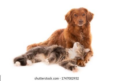 Perro recuperador de peaje de pato de Nueva Escocia con un gato de pelo largo tirado a su lado y mirando hacia arriba. Aislado en blanco.