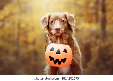 Nova scotia duck tolling retriever holding a halloween pupkin in its mouth