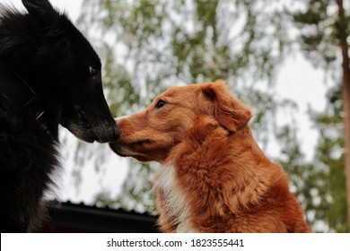 Nova Scotia Duck tolling retriever and Belgian groenendael touching noses