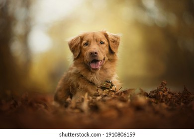 Nova Scotia Duck Tolling Retriever sitting on dry leaves on the ground