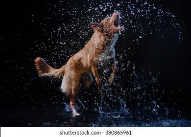 Nova Scotia Duck Tolling Retriever,  active dog Motion in the water, aqueous shooting