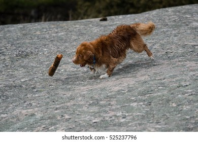 Nova Scotia Duck Tolling Retriever, Toller, dog playing with stick