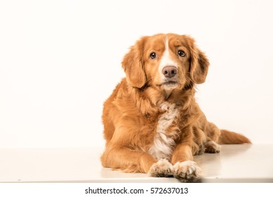 The Nova Scotia Duck Tolling Retriever, or Toller for short, is a medium-sized breed of gundog bred primarily for hunting.