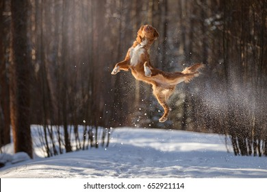 Nova Scotia Duck Tolling Retriever breed dog high jumping outdoors in park