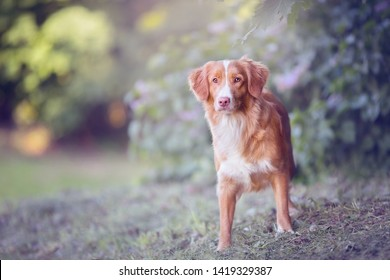 Nova Scotia retriever golden ginger color with white stripe standing alone in the park sideways and looking alert, pastel bright color green background, park, lilacs, sun shining