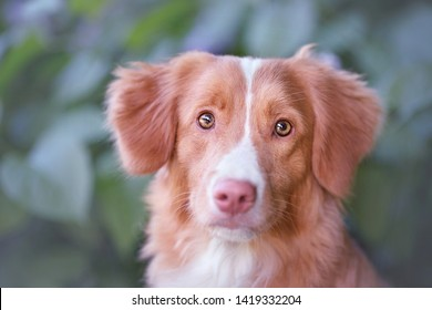 Nova Scotia retriever golden with white color sitting and looking outdoors in nature, green background with flowers