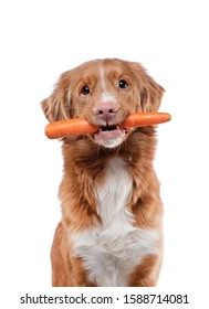 The Nova Scotia Retriever holds a carrot in his teeth. Healthy food for dogs. food for pets. Animal on a white background
