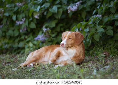 Nova Scotia retriever laying on the grass in the park during summer heat