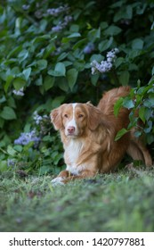 Nova Scotia retriever pure breed dog playful laying inviting to play , in the park, golden ginger color coat with white stripe