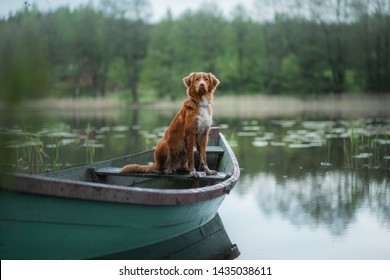 Nova Scotia Retriever, Toller in a boat on the lake. Travel with dog, adventure, trip