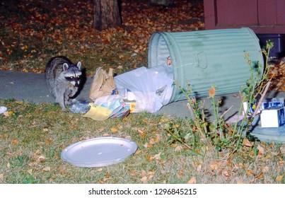 Novato, California / USA - October 10, 1994 - A raccoon raiding a trash can in Novato, California.