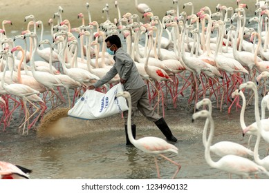 November 17, 2018, feeding Flamingoes in Ras Al Khor Wildlife Sanctuary, Ramsar Site, Flamingo hide2, Dubai, United Arab Emirates