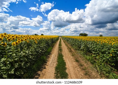 Novi Sad,Serbia 28.06.2018 Sunflower fields in the Vojvodina photo Nenad Mihajlovic